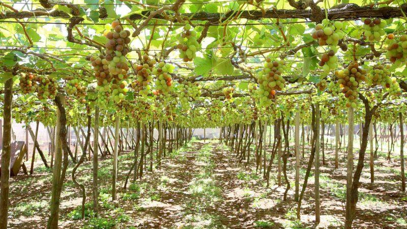 Programa fortalece a produção de uvas e derivados no Paraná