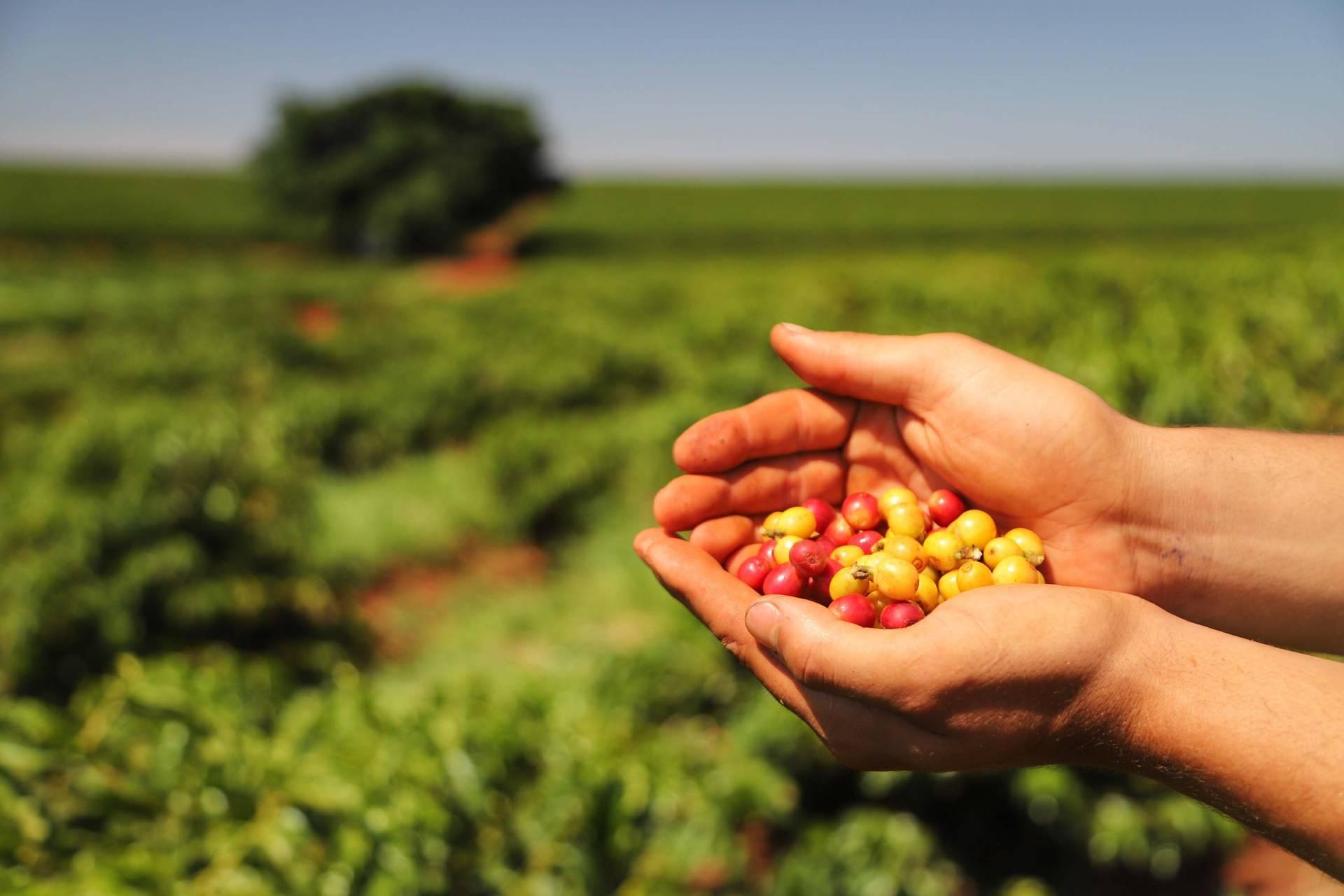 Alta qualidade e reconhecimento distinguem o café do Norte do Estado