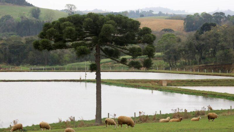 Boletim agropecuário aborda a ovinocultura paranaense