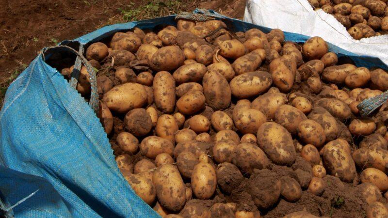 Boletim agropecuário destaca colheita e comércio de batata
