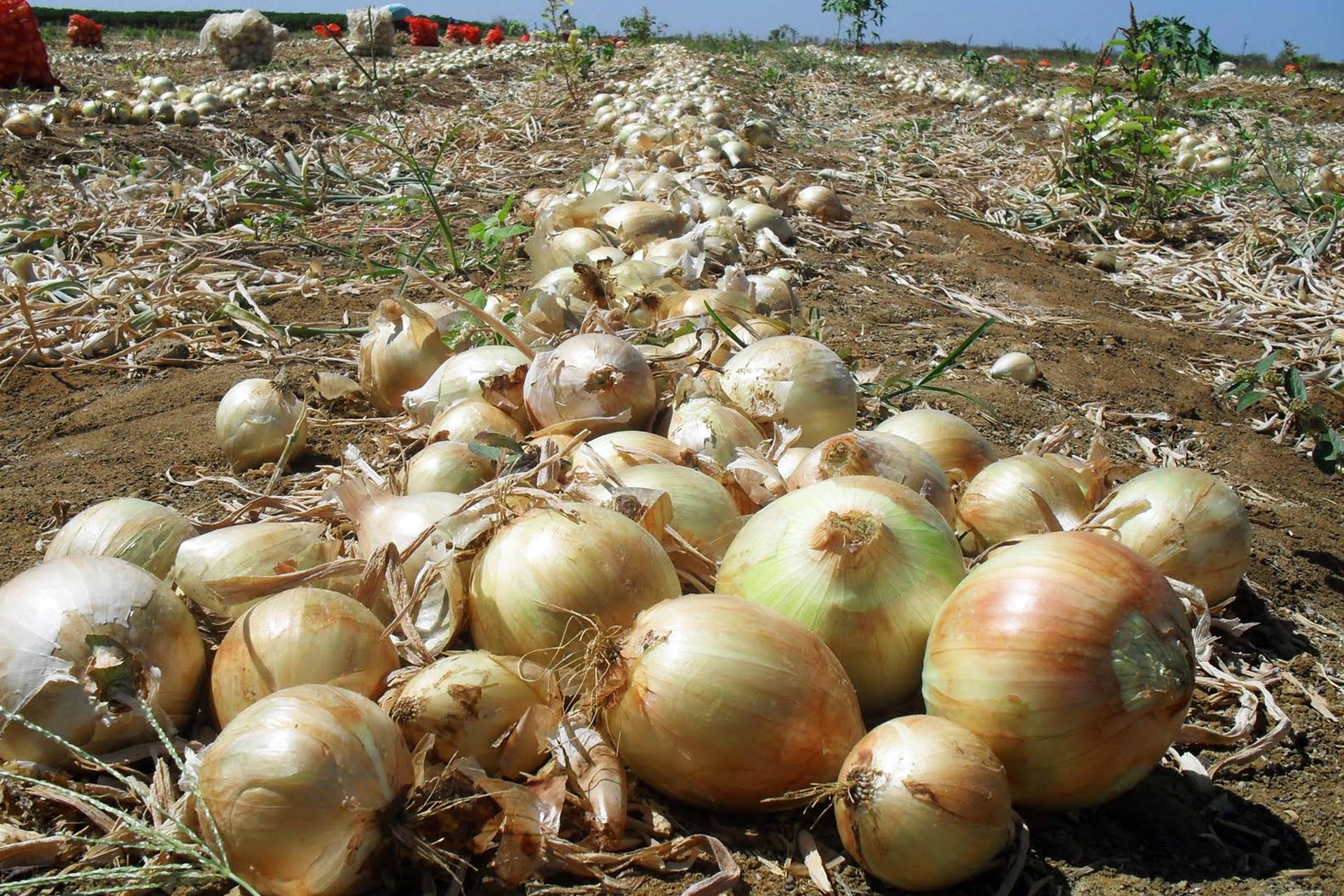 Boletim agropecuário destaca colheita da cebola no Estado