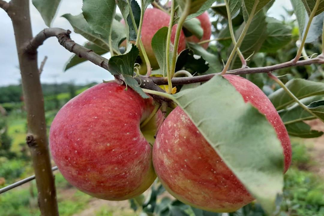 Agricultura prevê ano positivo para os produtores paranaenses de maçã