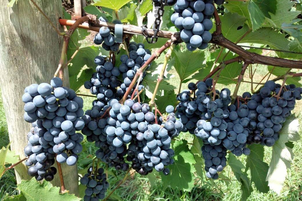 IDR-Paraná lança manual atualizado para produção de uvas