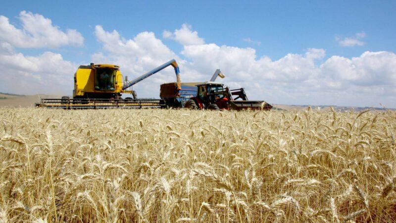 Trigo paranaense abastece mercado interno em janeiro