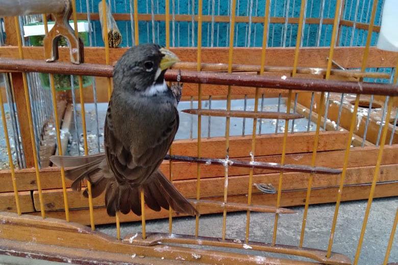 Instituto Água e Terra orienta sobre criação amadora de pássaros nativos