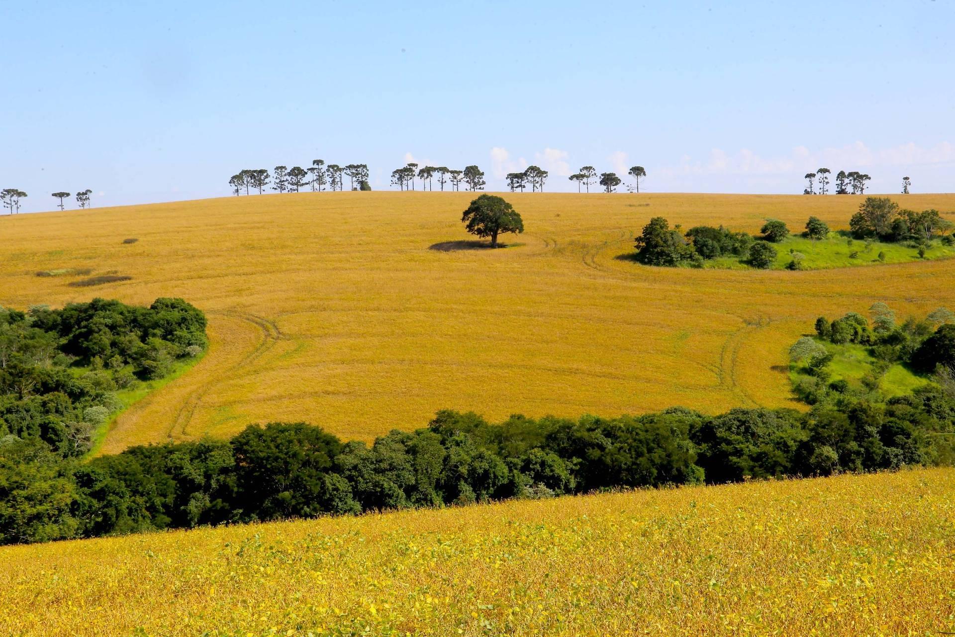 Produção paranaense de arroz é destaque no Boletim do Deral