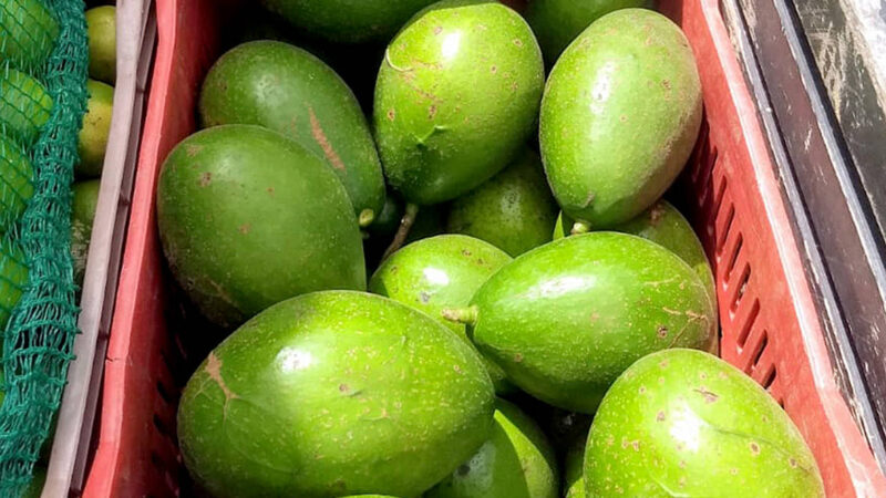Área de plantio do abacate cresceu 19% no Paraná e a produtividade 34,1%