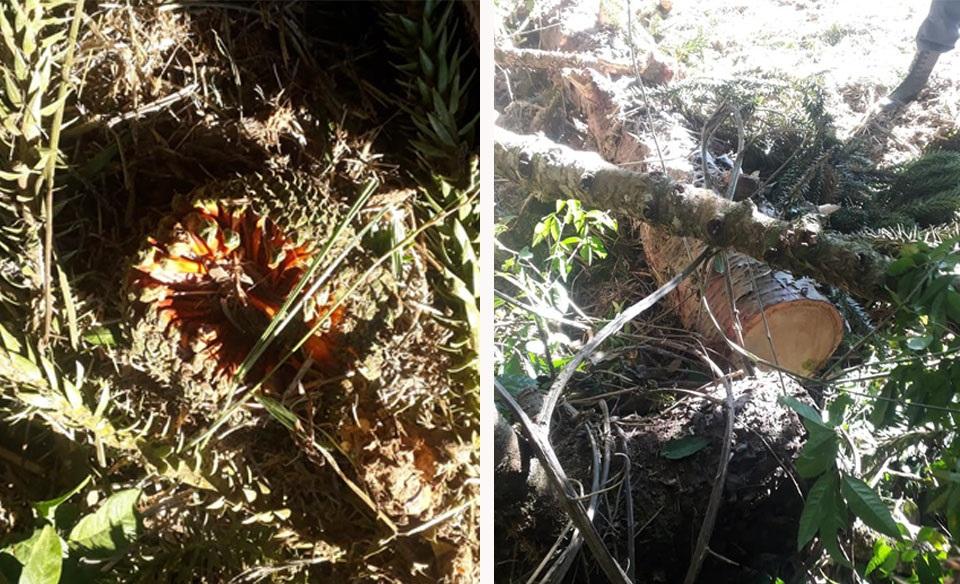 Guarda Municipal encontra araucárias derrubadas no Socavão