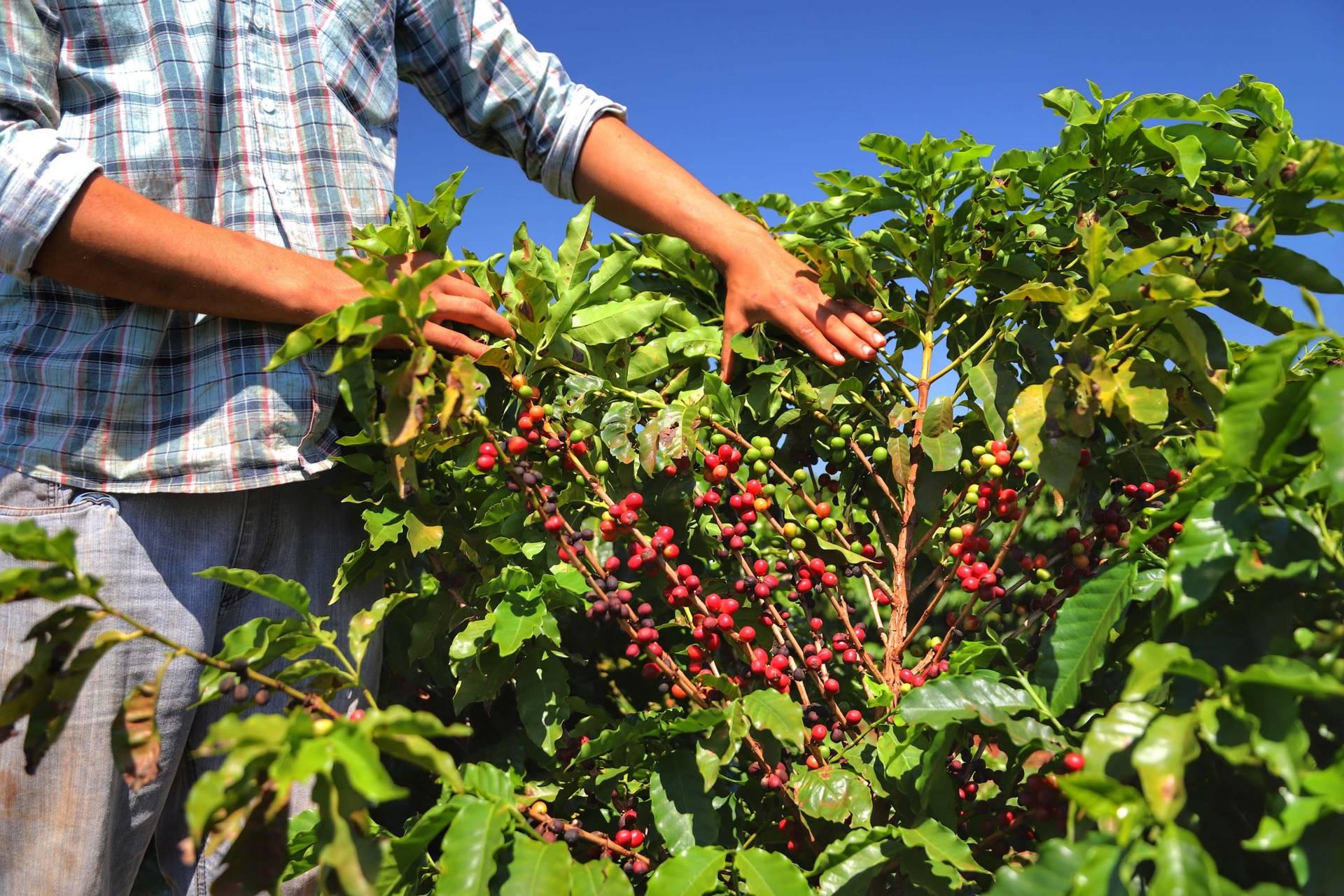 Boletim agropecuário aponta retração de 9% na produção de café paranaense