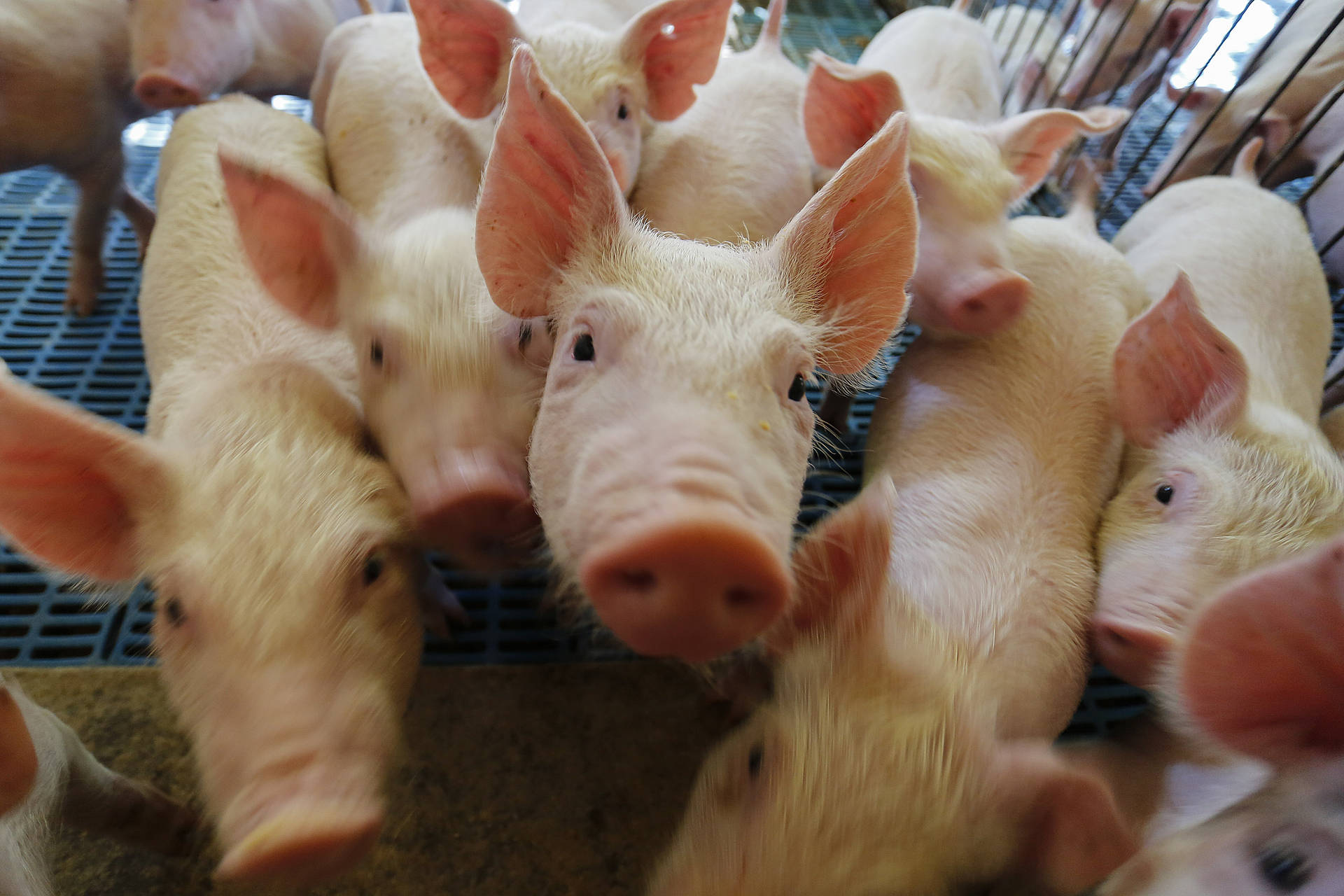 Com chancela da OIE, Paraná vira zona livre de peste suína clássica independente