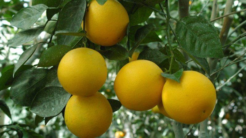 Estudo inédito avalia prejuízos causados por doença no plantio de citros