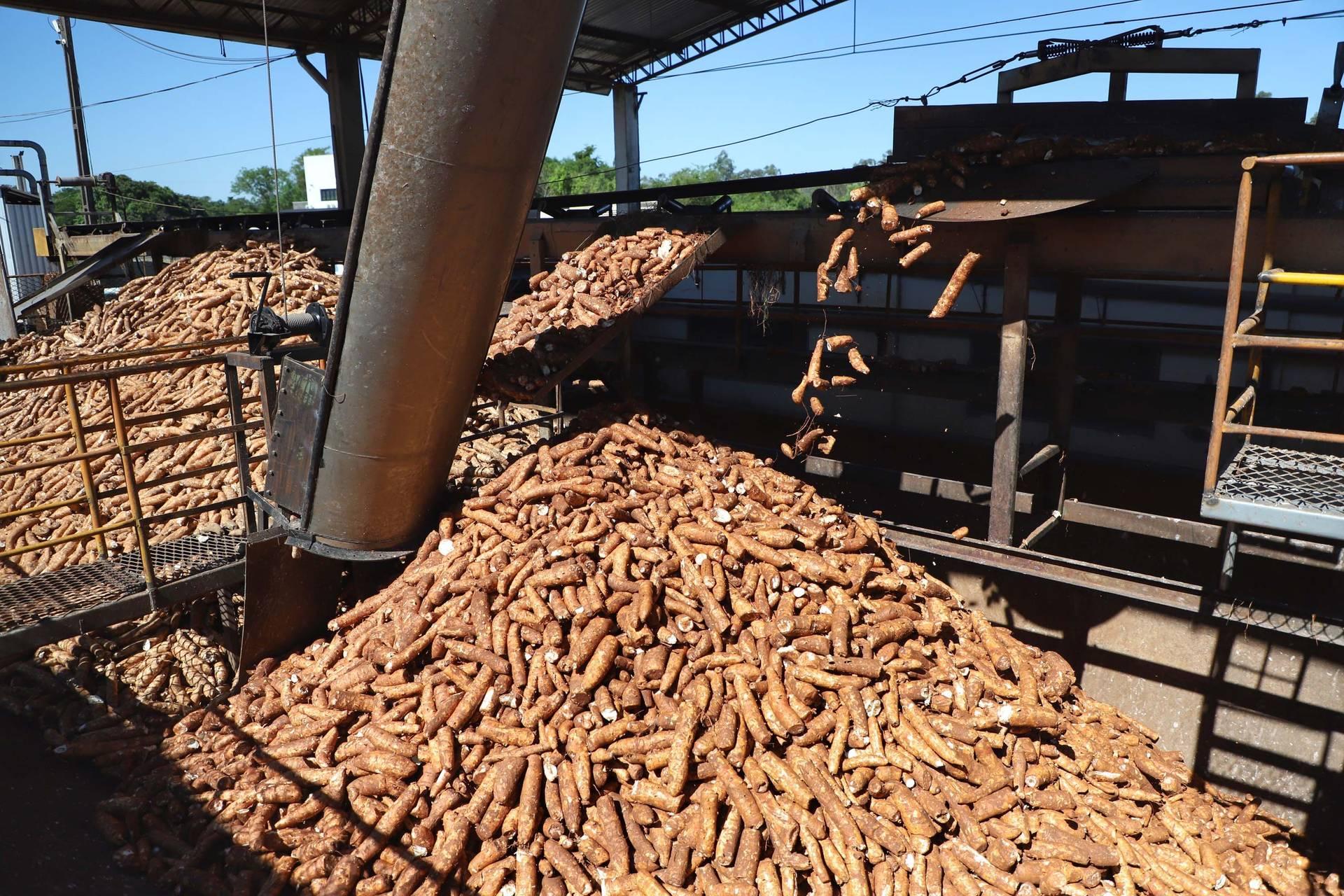 Colheita de mandioca acelera e reduz ociosidade da indústria de fécula e farinha