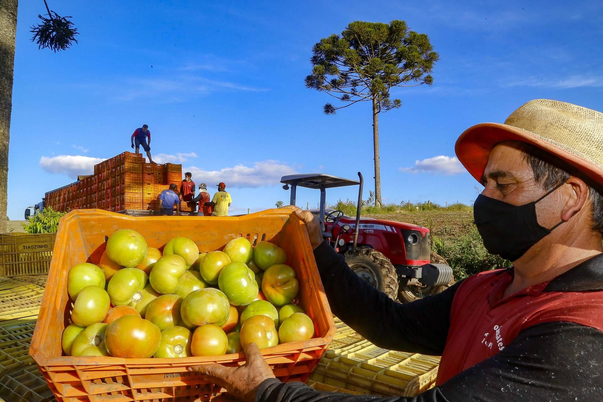 Com 18 milhões de pés, tomate une diferentes gerações no município de Reserva