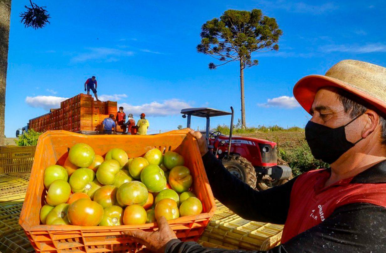 Tomate fica 34,55% mais caro em Ponta Grossa, aponta índice de cesta básica da UEPG
