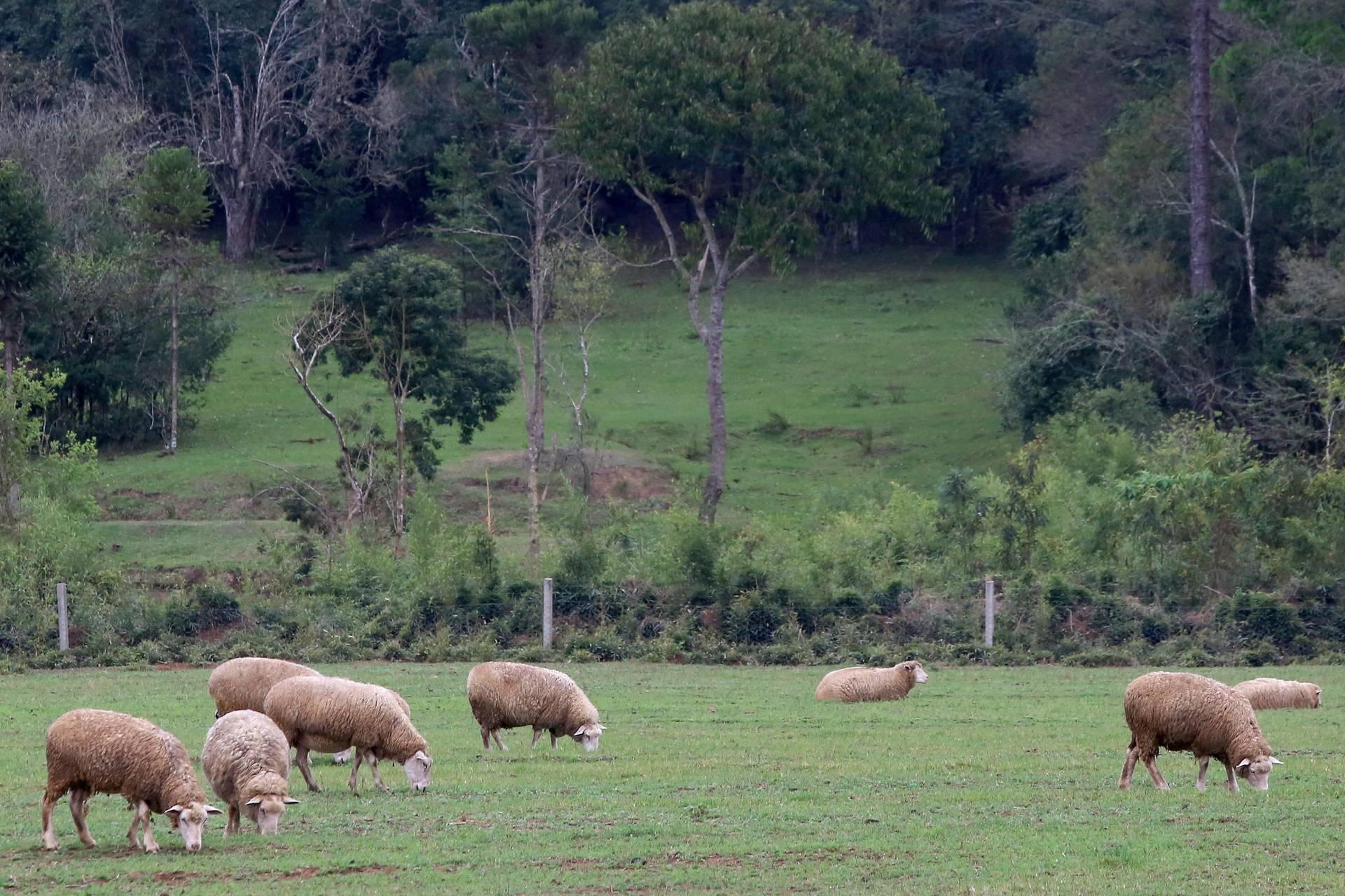 Preço de carne ovina não acompanha alta de outras espécies no 1º semestre