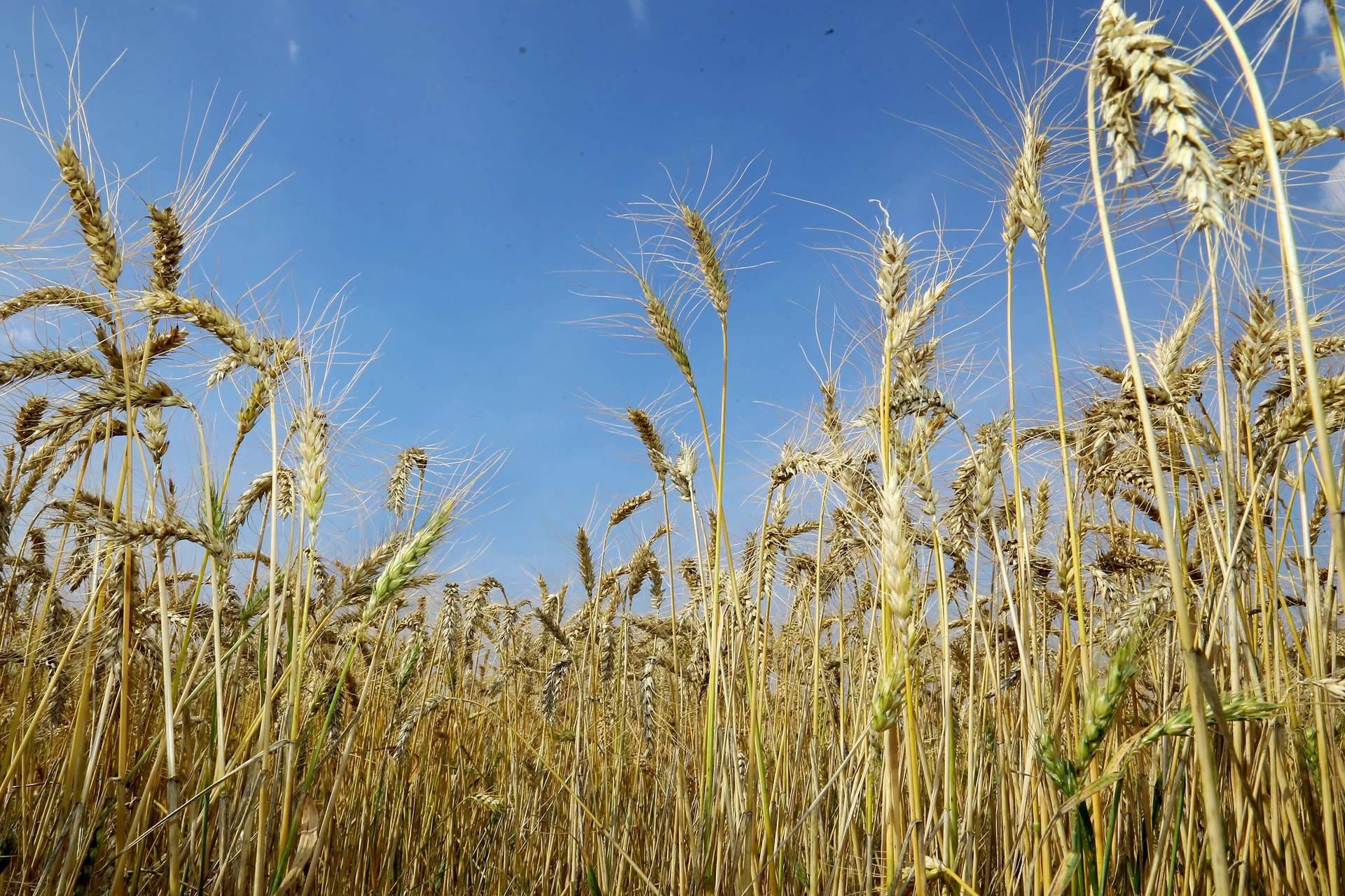 Geadas preocupam produtores de milho, mas podem ajudar aclimatação do trigo
