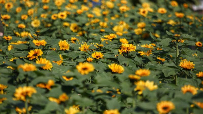 Floricultura contribui com oferta de mão de obra e para diversificação nas propriedades