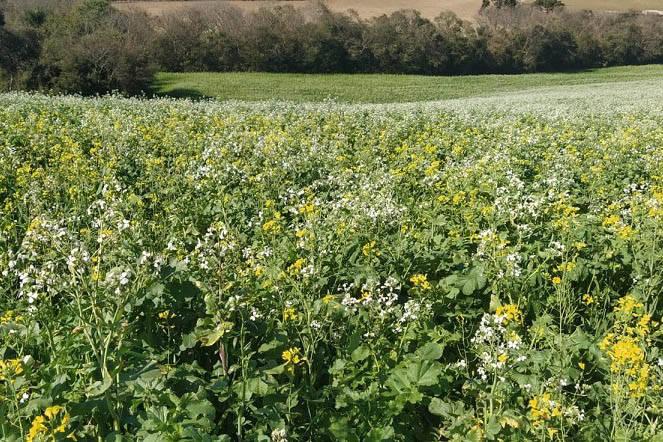 Culturas de inverno aumentam a produção de mel e preservam o solo, aponta IDR