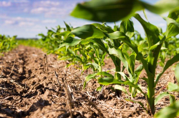 Paraná inicia plantio da primeira safra do milho